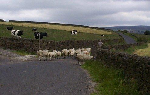 Picture of sheep being herded above Trawden.  (4 July 1998, 1600)